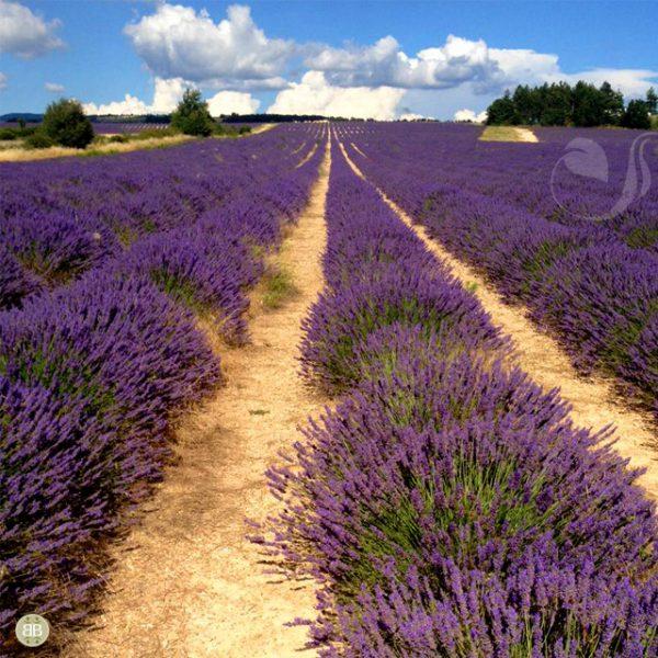 As icônicas lavandas francesas, presença marcante em vários dos nossos aromas.